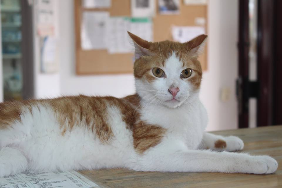 Cat 6 - Ginger was brought in from another shelter with a broken leg.  He is very talkative.  He has been with us a few months, and would love a busy happy playful home.